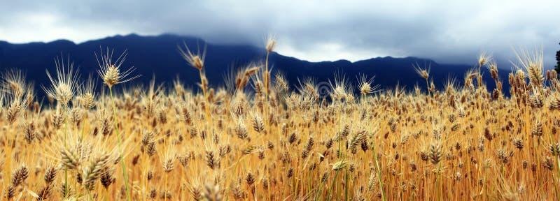 I giacimenti di grano dorati fotografia stock libera da diritti