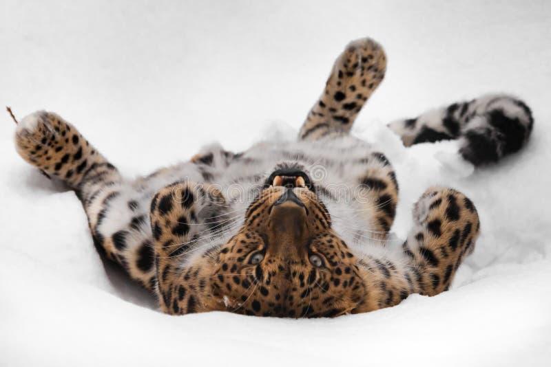 I giochi dell'Estremo-Oriente del leopardo dai capelli rossi dell'Amur nella neve e le passeggiate e gli orologi Divertimento pre immagini stock