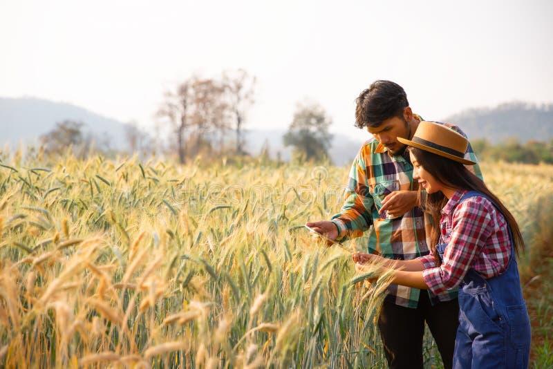 I giovani agricoltori delle coppie analizzano il grano piantato immagini stock