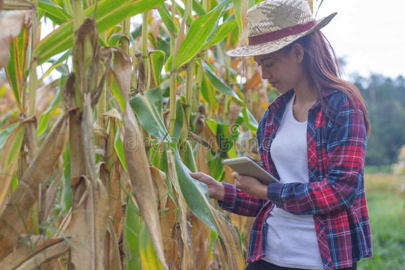 I giovani agricoltori stanno guardando i campi di mais vicino al raccolto immagine stock