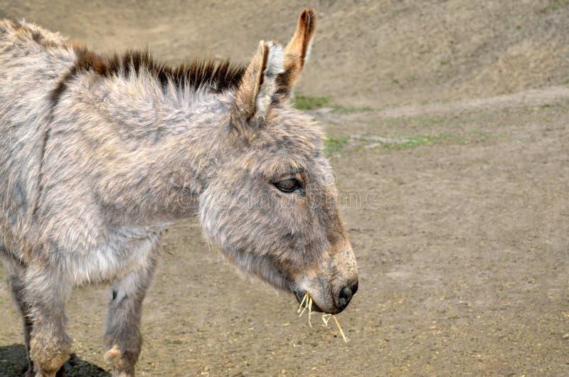 I giovani asini alimentano la paglia e l'erba nello zoo immagini stock libere da diritti