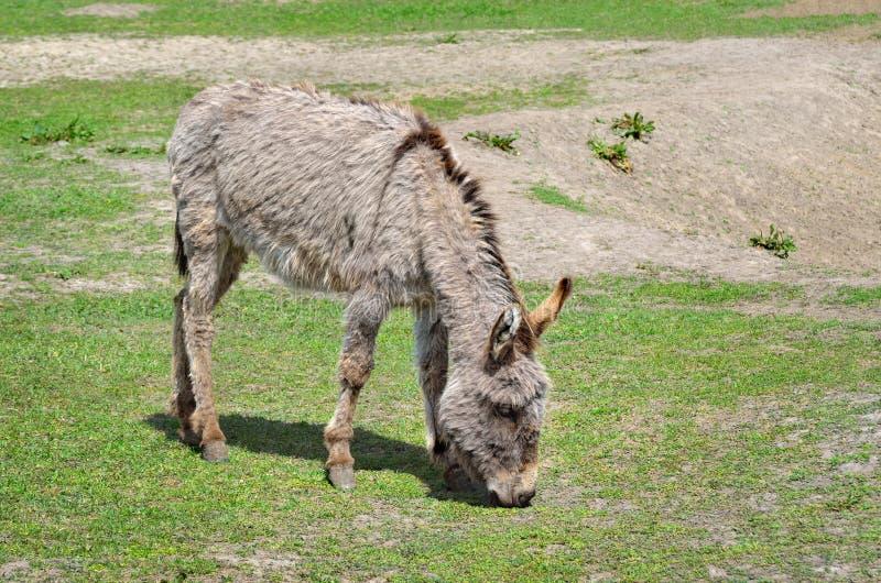 I giovani asini alimentano la paglia e l'erba nello zoo fotografia stock