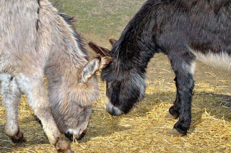 I giovani asini alimentano la paglia e l'erba nello zoo fotografie stock