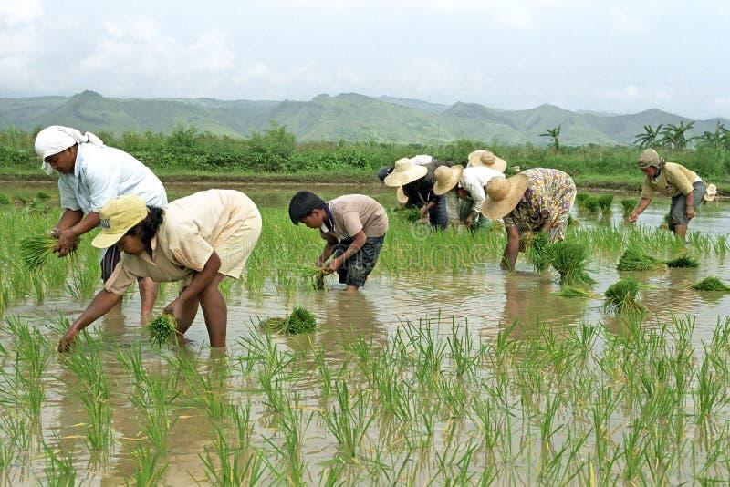 I giovani e filippini anziani che lavorano in un riso sistemano fotografie stock libere da diritti