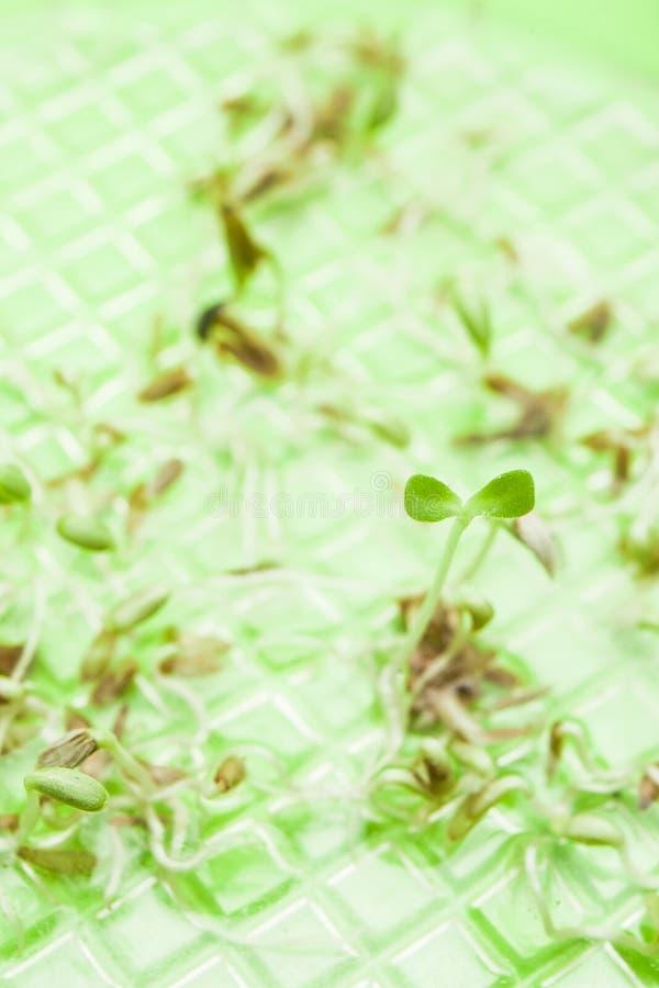 I giovani germogliano dai semi su un fondo verde, verticale fotografie stock