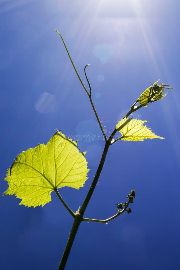 I giovani germogliano di una vigna in sole contro il cielo blu immagine stock