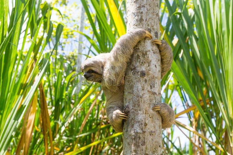 I giovani 3 hanno piantato il bradipo di traverso nel suo habitat naturale Rio delle Amazzoni, Perù fotografie stock libere da diritti