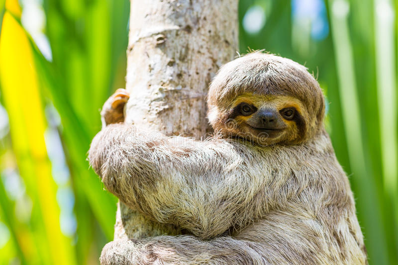 I giovani 3 hanno piantato il bradipo di traverso nel suo habitat naturale Rio delle Amazzoni, Perù fotografia stock