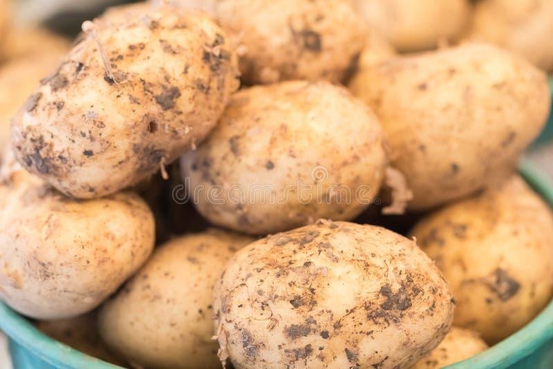 I giovani tuberi delle patate sono messi in un secchio immagine stock