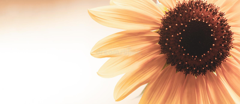 I girasoli di fioritura immagini stock