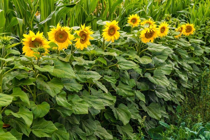 I girasoli gialli luminosi in piena fioritura in giardino per olio migliora la salute della pelle e promuovono la rigenerazione d fotografia stock
