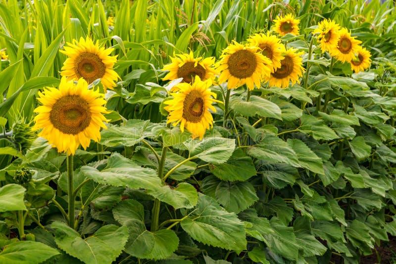 I girasoli gialli luminosi in piena fioritura in giardino per olio migliora la salute della pelle e promuovono la rigenerazione d immagini stock libere da diritti