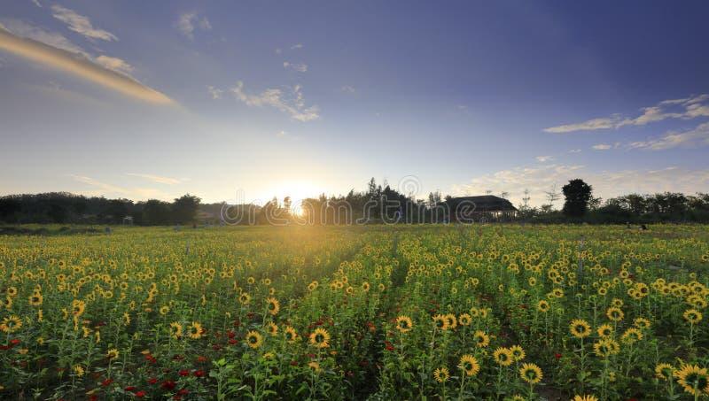 I girasoli rispettano il sol levante, adobe rgb immagine stock libera da diritti