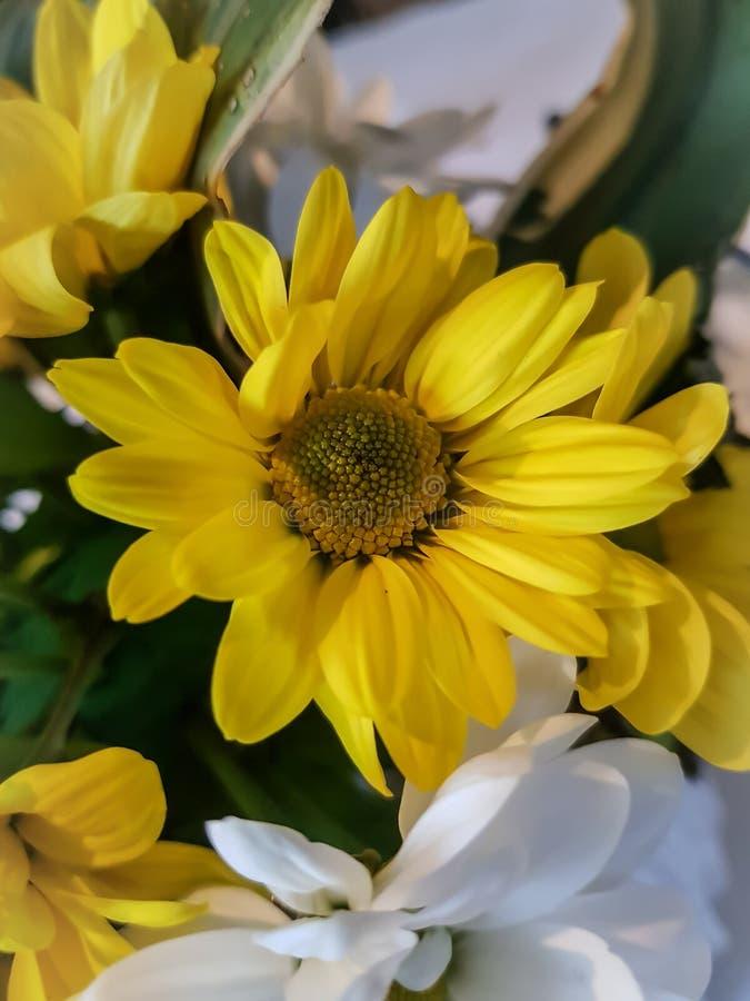 I girasoli, si chiudono sulla macro vista - fioritura floreale gialla del giardino fotografia stock