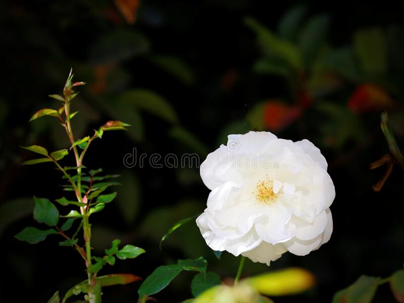 I give you a white rose in autumn stock image