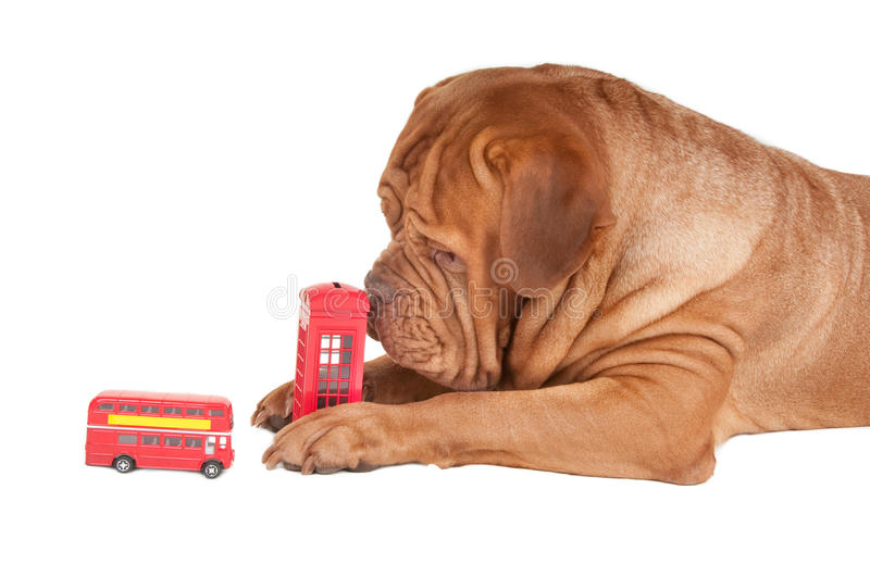 Download I Am Going To London This Time... Stock Photo - Image of dogue, boxer: 17255490