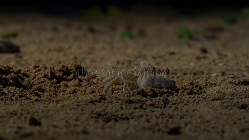 I granchi aspettano i giovani hatchlings della tartaruga di hawksbill per venire a loro britain fotografie stock libere da diritti