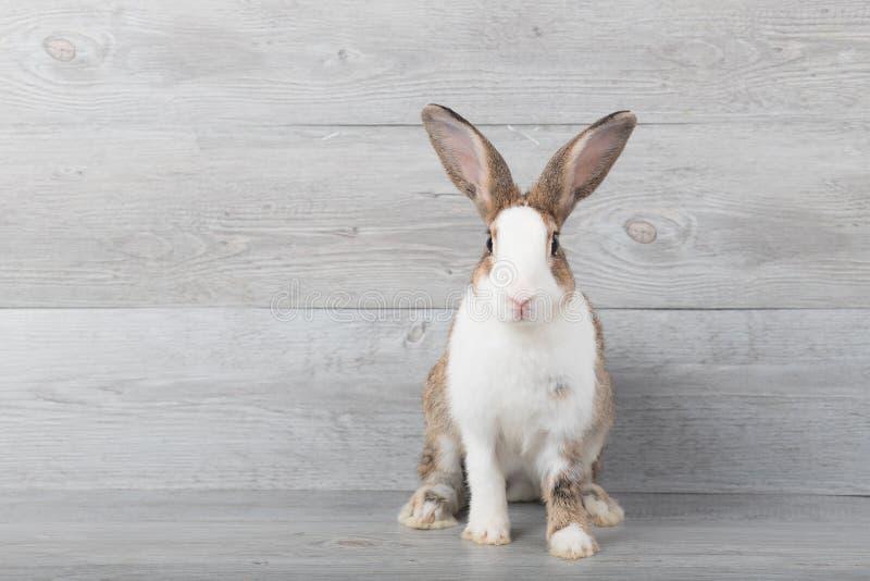 I grandi conigli bianchi e marroni stanno sedendo immagini stock libere da diritti