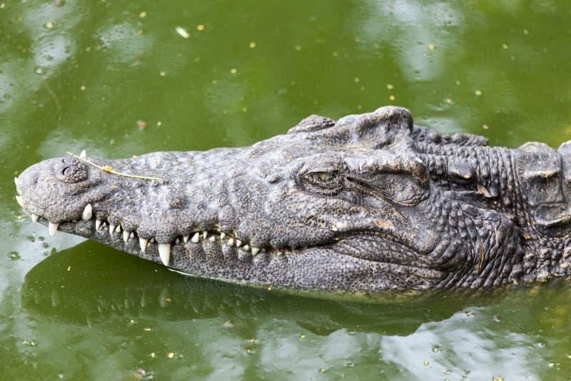 I grandi polustris capi del Crocodylus si chiudono su nel fiume della Tailandia, coccodrillo pronto a colpire immagine stock libera da diritti