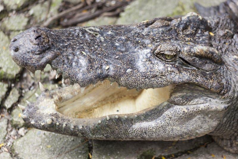 I grandi polustris capi del Crocodylus si chiudono su nel fiume della Tailandia Mandibole aperte enormi di un alligatore, coccodr fotografie stock