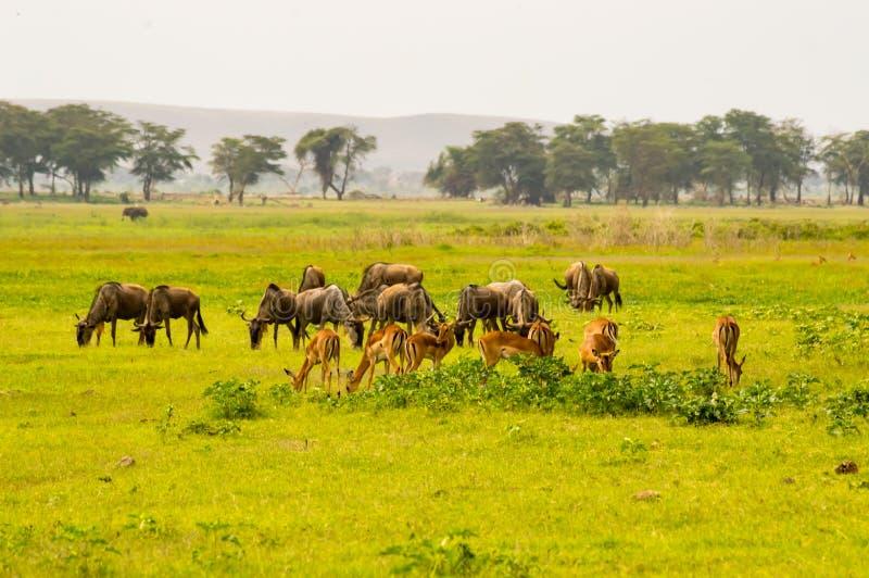 I greggi dell'impala e dello gnu pascono parallelamente nella savana fotografia stock