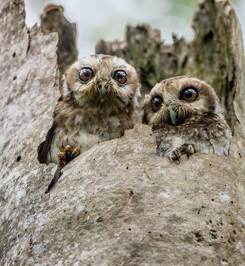 I gufi di Screech con le gambe nude del cubano o del gufo (lawrencii di Gymnoglaux) ad un nido su un albero fotografia stock