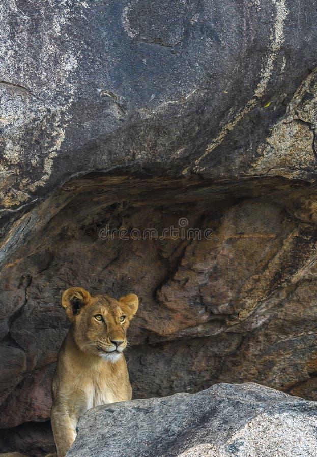 I hålan: Framtida djungelkonung royaltyfria foton