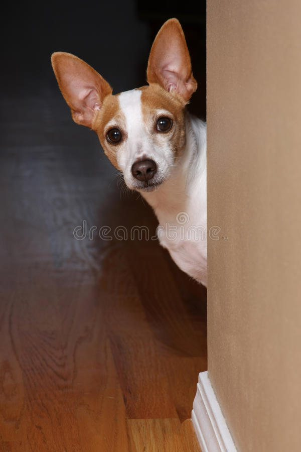 I hear you. An adorable terrier peeking around the corner of a wall royalty free stock image
