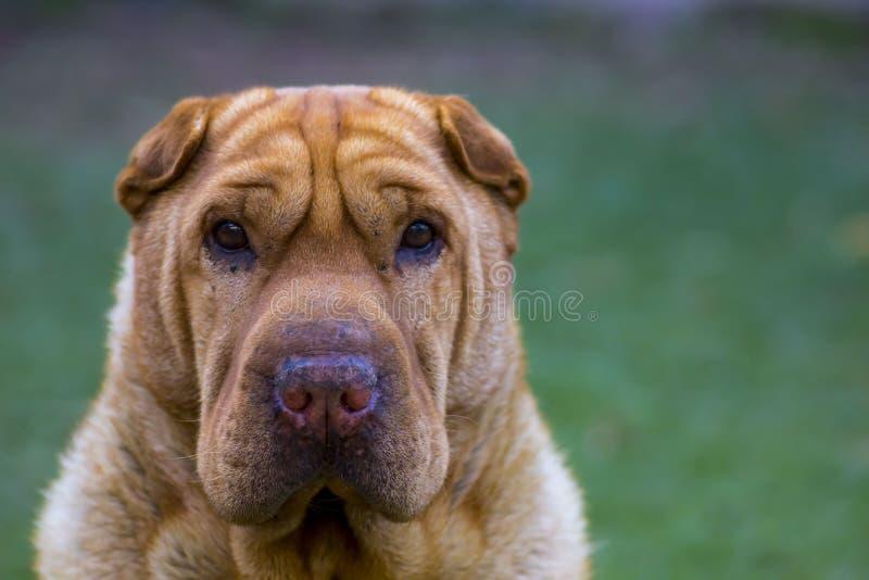 I huvudrollen för Sharpei hund arkivfoto