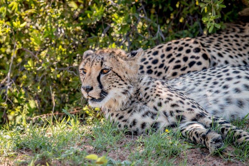 I huvudrollen gepard som ner lägger och arkivfoton