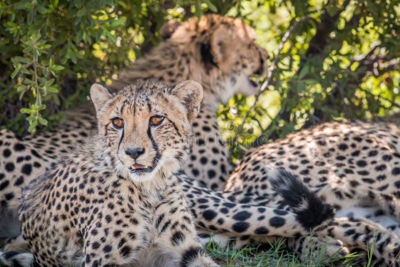 I huvudrollen gepard som ner lägger och royaltyfri fotografi