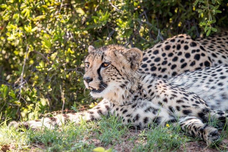 I huvudrollen gepard som ner lägger och royaltyfri foto