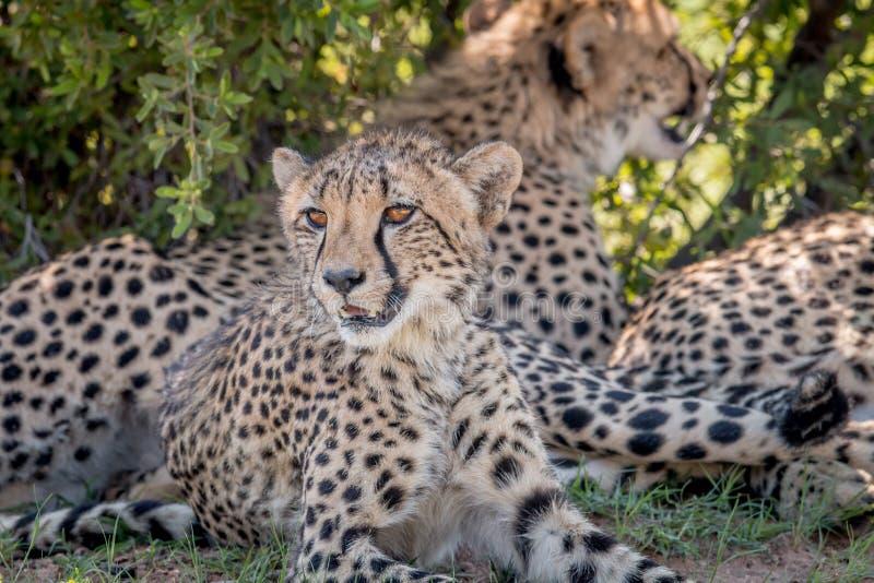 I huvudrollen gepard som ner lägger och arkivbilder