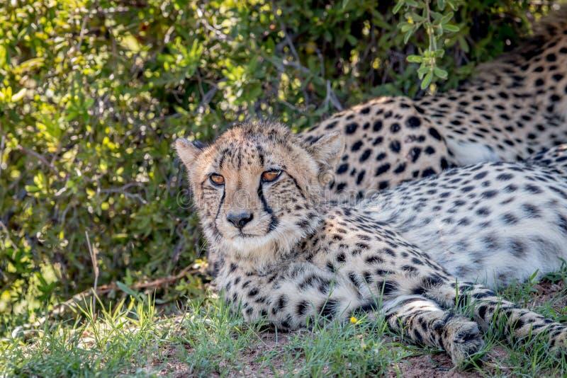 I huvudrollen gepard som ner lägger och arkivfoto
