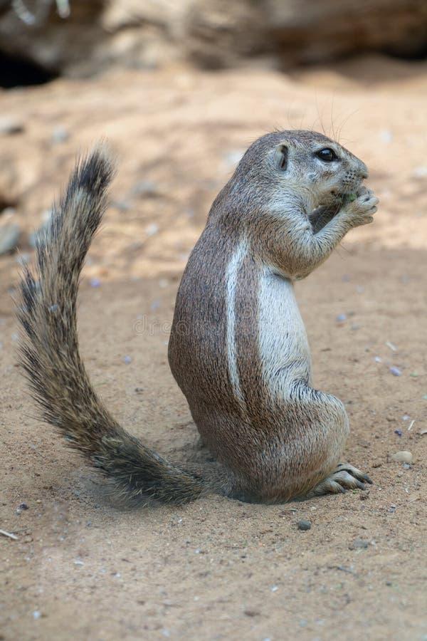 I inauris di Xerus degli scoiattoli di messa a terra del capo fotografie stock libere da diritti