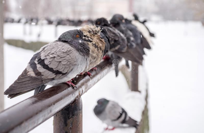 I kallt väder sitter duvor under ett snöfall Selektivt fokusera royaltyfri fotografi