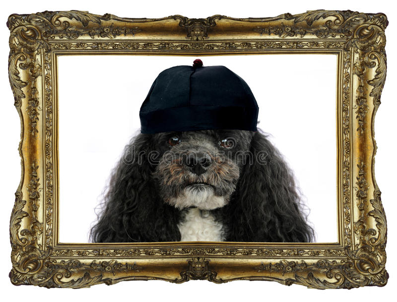 I am king Tom. Harlequin poodle , King Tom, in a golden frame royalty free stock photos