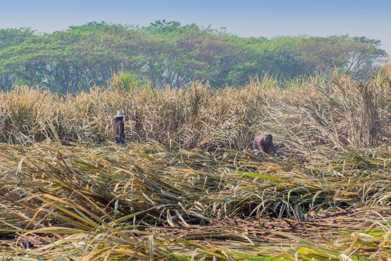 I lavoratori stanno tagliando la canna da zucchero di mattina in Kanchanaburi Tha immagine stock libera da diritti