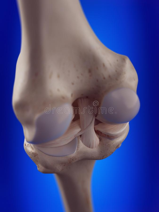 I legamenti del ginocchio illustrazione di stock