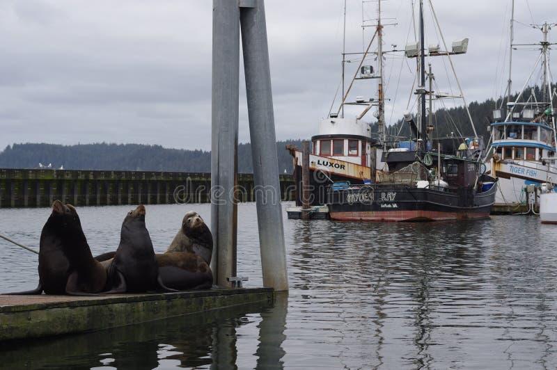 I leoni marini trasportano fuori sul pilastro nella spinta della La fotografie stock libere da diritti
