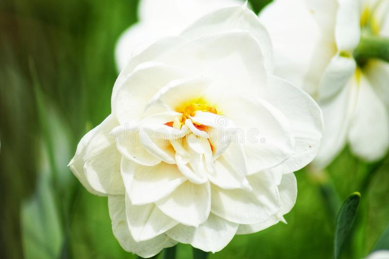 I letti di fiore in un giardino domestico con i cespugli ed i raccolti di pietra rosa, anche hanno chiamato il sedum fotografia stock