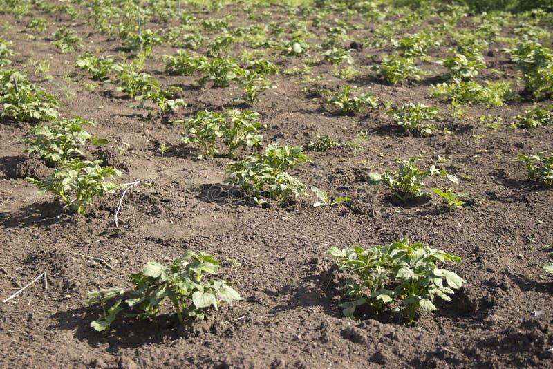 I letti sono piantati con le patate nell'ambito di luce naturale fotografia stock libera da diritti