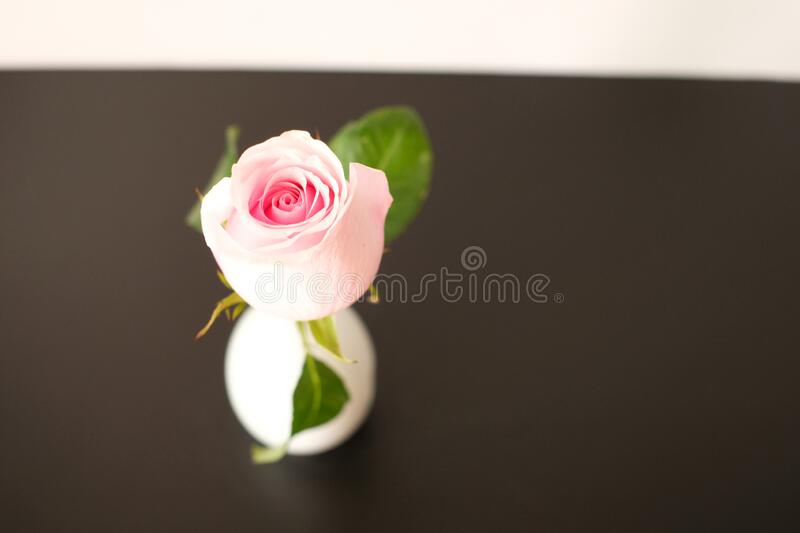Close up pink rose on brown background. I like taking image photos  and complete this picture royalty free stock image