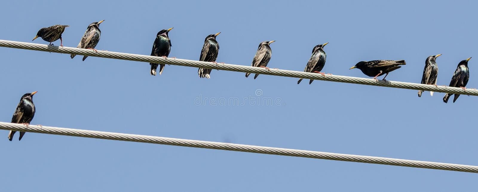 I`ll take the lower level. A crowd of Starlings perched on telephone wires with only one choosing the lower wire
