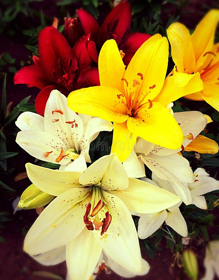 I Love lilies stock image