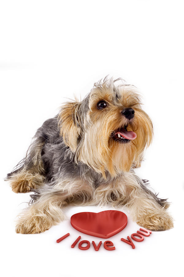 I love you. Yorkshire terrier with a 3d heart saying I love you royalty free stock image