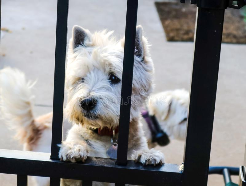 I`m so glad you are home - Sad looking Westie dog looking through wrought iron fence with another dog blurred out in the backgroun stock image