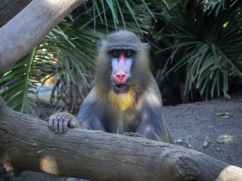 Mandrill with Blue and Red Snout Looking Straight Ahead royalty free stock photo