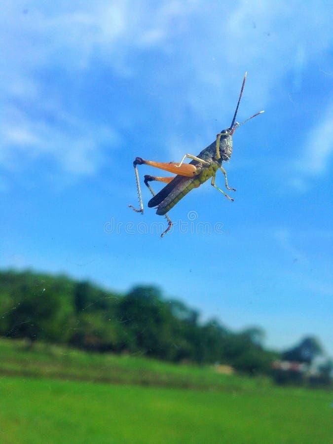 I ` M precis en gräshoppa arkivbilder