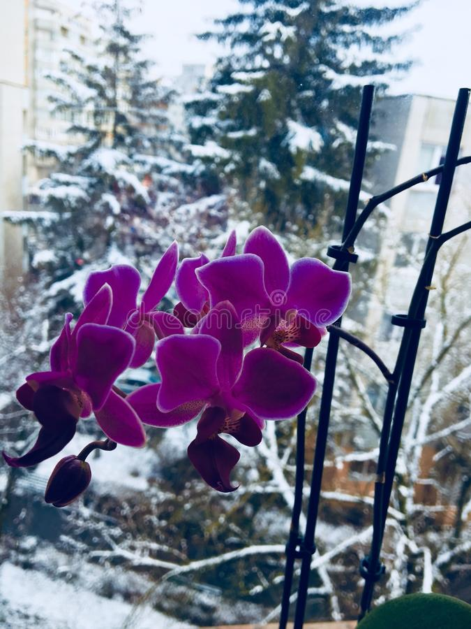 I`m so proud my beautiful purple orchid flower. royalty free stock photos